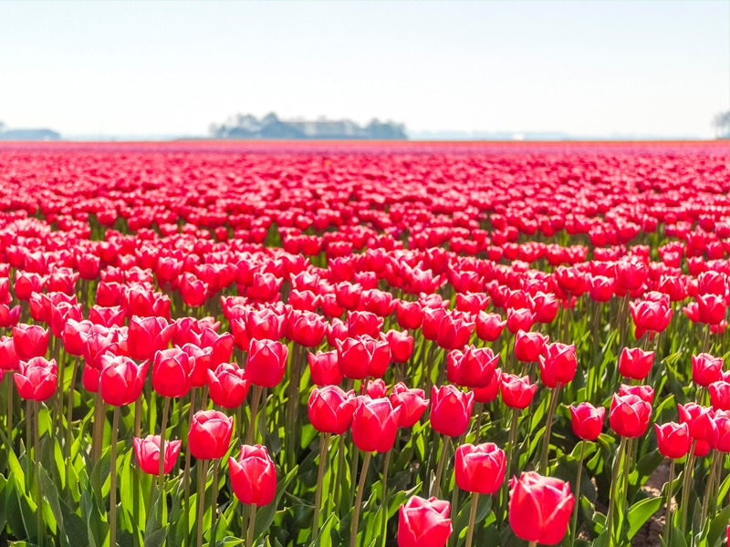 Flower Fields in Swifterband, Holland, away from the crowds.